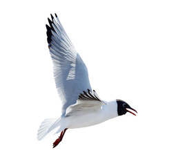 flying black headed gull with open beak
