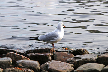 The seagull sits on the stone bank of the river