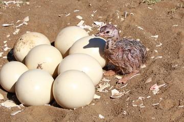 Straussen Baby am Nest mit Eiern