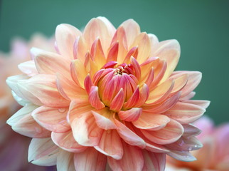 Closeup of a pastel colored dahlia flower