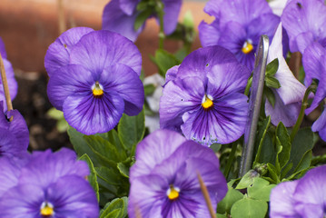Viola cornuta, horned pansy
