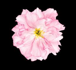 Cherry blossom sakura flower black background