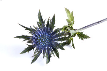 Blue Thistle on white background closeup