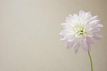 Poster de jardin Dahlia 白いダリア