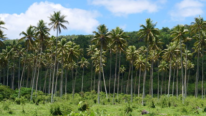 Large palm tree plantation serving as a gateway to dense tropical rainforest.
