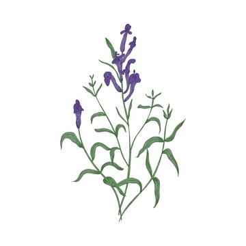 Gorgeous Baikal skullcap flowers and leaves hand drawn on white background. Beautiful flowering plant, herb used in traditional medicine or phytotherapy. Elegant vector illustration in vintage style.