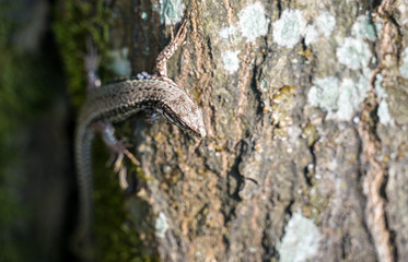 Common lizard on a trunk in the Palatinate Forest. Germany