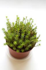 Sedum reflexum Angelina succulent potted plant isolated on white background