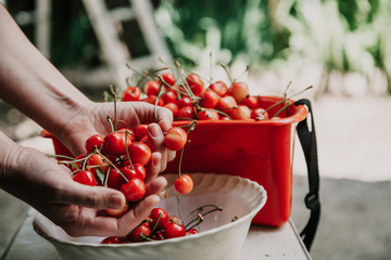 Hands of woman picking a ripe cherry
