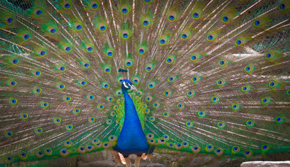 Peacock with open tail feathers