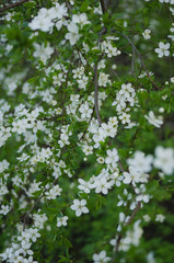 Closeup view of beautiful spring trees with fresh young white flowers outdoors. Vertical color photography.