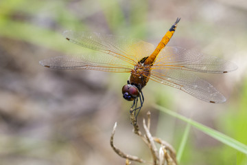 Image of Asian Amberwing dragonfly(female)/Brachythemis contaminata on a branch on nature background. Insect. Animal