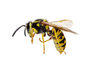wasp on white