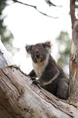 Koala in treen in Victoria