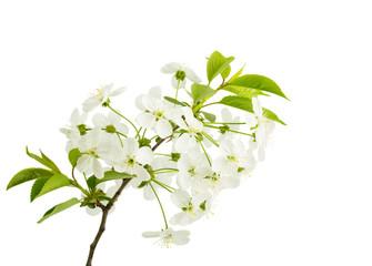 Springtime: cherry blossom