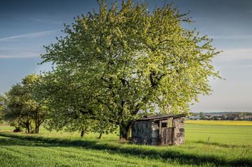 stara szopa przy drzewie