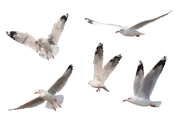 Seagull flying isolated on white background
