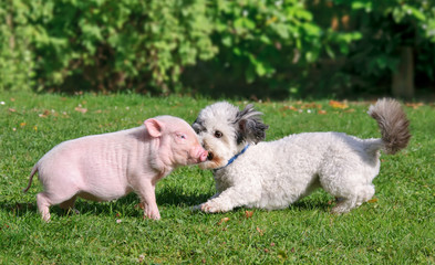 Young minipig and a dog, Coton de Tulear, playing in a garden