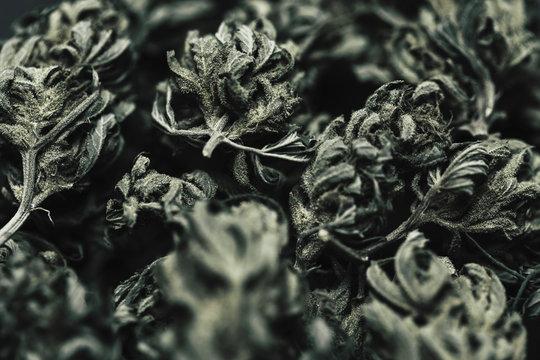 Close up of dried marijuana buds