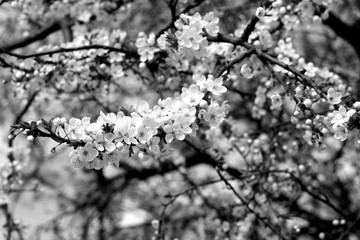 Cherry tree in blossom with bokeh in black and white.