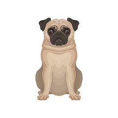 Small decorative pug dog with wrinkly, short-muzzled face, compact square body and short beige coat. Detailed flat vector icon