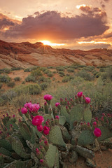 Foto op Plexiglas Zalm Colorful sunset with cactus flowers in Valley of Fire, Nevada, USA.