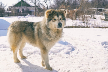 Big mongrel dog stands on the snow