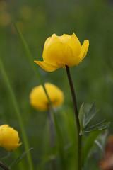 floral,Tróllius blossoms - sunny day