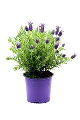 flower pot of Spanish lavender (Lavandula stoechas) on white isolated background