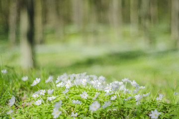 wiosenny las z mnóstwem zawilców