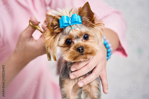 Little Yorkshire Terrier In Grooming Salon Getting Haircut Stock