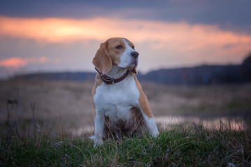 Beagle dog on a walk through the spring puddles