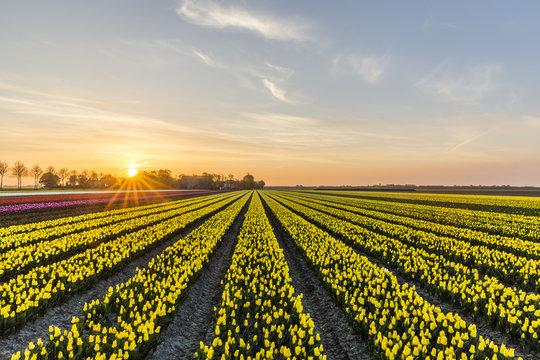 Sunrise over the yellow tulip field in the Noordoostpolder municipality, Flevoland