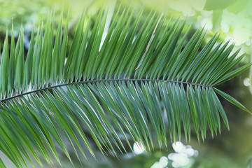 Tropical Phoenix plant leaf with bokeh, light, sunny day. Abstract texture, natural exotic jungle green background