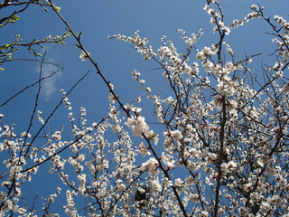 Flowers of apricot. Flowering apricot tree.