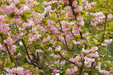 Blossoming peach tree branches.