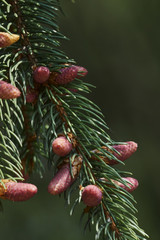 pine buds in the forest