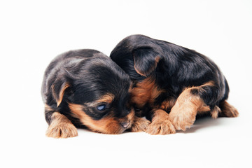 Two yorkshire puppies on white background.