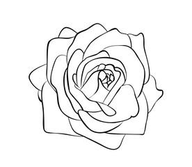 Vector illustration of rose flower