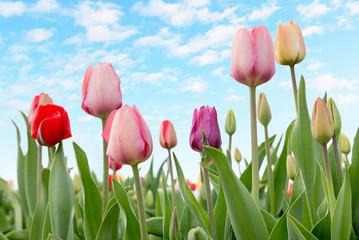 Fototapete - bunte Tulpen und hellblauer Himmel mit Wölkchen