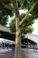 Plane tree in London