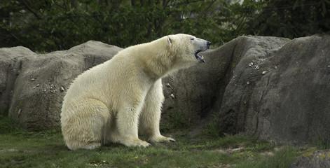 Printed roller blinds Polar bear Polar Bear portret