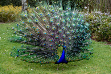 Proud peacock is presenting its magnificent tail
