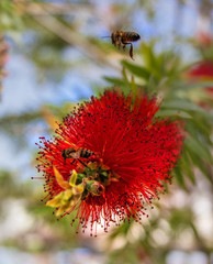 Red flower shrub Callistemon. Bee looking for sweet nectar in the flower of Callistemon. The inflorescence of Callistemon consists of red stamens.