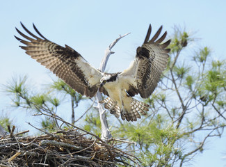 Osprey Landing on It's Nest