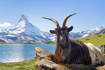 Walliser Schwarzhalsziege vor dem Stellisee und Matterhorn, Kanton Wallis, Schweiz