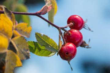 Rose hip fruit on branches in autumn. Rose hip tea. Rose haw. Rose hep plan