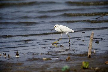 Snowy Egret (Egretta thula) foraging along Lake Chapala, Ajijic, Jalisco, Mexico