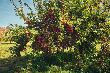Apple trees in a autumn orchard. Beautiful blue sky. Apple tree with fruits growing in the garden