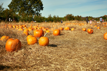 Pile of orange pumpkins sit in field ready for pickup. Families are picking pumpkins on a farm. Autumn colors.